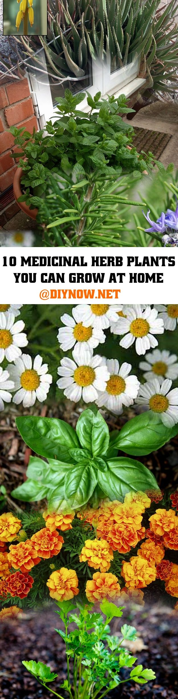 10 Medicinal Herb Plants You Can Grow At Home